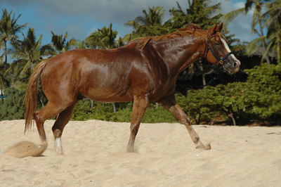 Chestnut mare running on the beach North Shore of O'ahu, Hawai'i