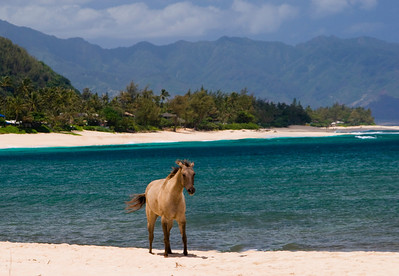 Horse at Sunset Beach North Shore, Oahu