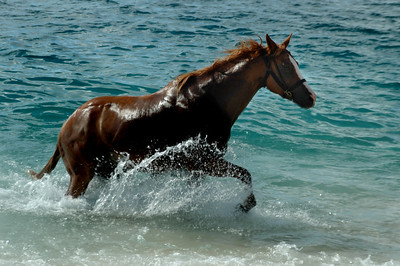 Chestnut mare running in the ocean North Shore of O'ahu, Hawai'i