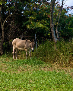 Donkey grazing a Kualoa Ranch, Windward Oahu