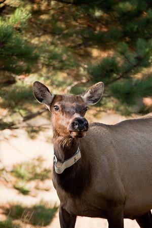 Alert elk cow wearing collar.