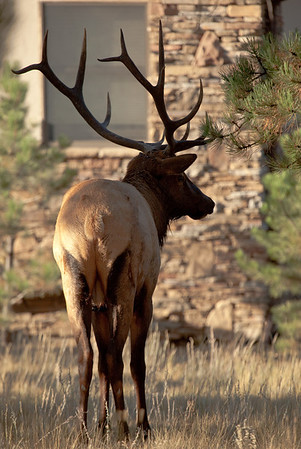 """Bull elk (shown in previous photo) standing away from the herd.  He appears to be pouting or thinking about whether it's worth going back and getting into an altercation with the other bull.  Both bulls seem equal in size, but this bull's """"bugle"""" wasn't quite as loud as that of the other bull."""