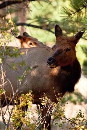 Two elk cows.