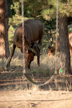 Female elks grazing just beyond a playground.  This cow seemed to be scratching an itch.