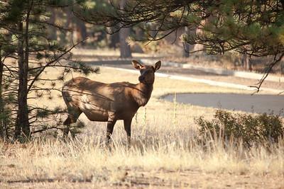 Pregnant  (???) elk cow.  Elk calves are born in May or June.