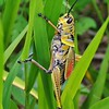 <b>Title - Lubber Grasshopper Holding On</b> <i>- Bridget Lyons</i>