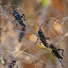 Immature Lubber Grasshoppers