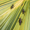 <b>Title - Immature Lubber Grasshoppers</b> <i>- Steve Schwartz</i>