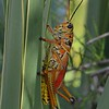 Loxahatchee Grasshopper