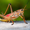 <b>Title - Lubber Grasshopper</b> <i>- Anne Dignam</i>