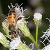 Description - Honey Bee on Blue Mistflower <b>Title - Bee on the Job</b> <i>- Michael Stebel</i>