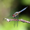 <b>Title - Bue Dasher Dragonfly</b> <i>- Lyle Gabor</i>