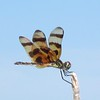 <b>Title - Halloween Pennant Dragonfly</b> <i>- Jean Dowling</i>