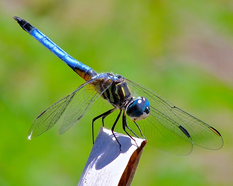 <b>Title - Blue Dasher Dragonfly</b> 2nd Place <i>- Joe Dell</i>
