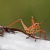 Grasshopper Stepping On Lizard
