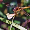 <b>Title - Female Scarlet Skimmer Dragonfly</b> <i>- Harvey Mendelson</i>