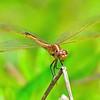 <b>Title - Needham's Skimmer Dragonfly</b> <i>- Marilynne Strazzeri</i>