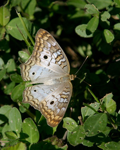 White Peacock Butterfly, Everglades, October 2006