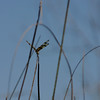 Dragonfly, Everglades, October 2006