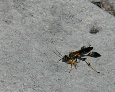 Black and Yellow Mud Dauber, Everglades, October 2006