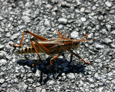 Grasshopper, Everglades, October 2006