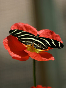 Red Poppy & Zebra Butterfly