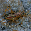 Grasshopper Mates, Everglades, October 2006