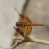 Dragonfly, Balboa Park, San Diego, May 2008