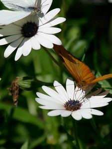 African Daisies with Julia and Cabbage butterflies