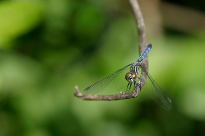 Blue Dragonfly, Everglades, October 2006