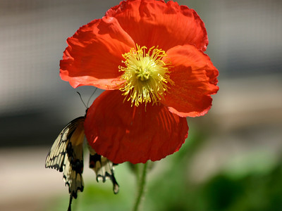 Red Poppy & Giant Swallowtail