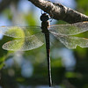 Dragonfly, Broken Wing, Everglades, October 2006
