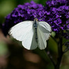 Cabbage Butterfly & Heliotrope