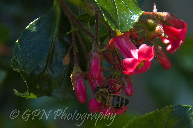 Bee on an Escallonia flower