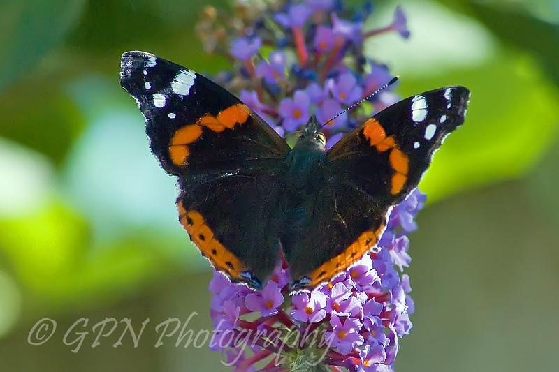 Butterfly on Buddleja