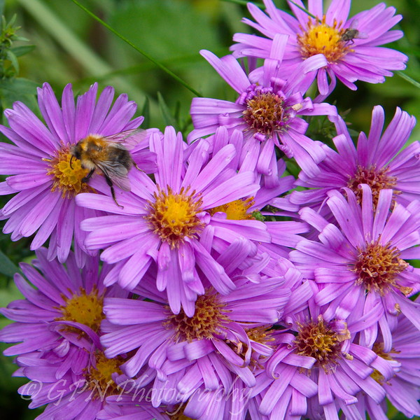 Bee on some Asters taken in my garden