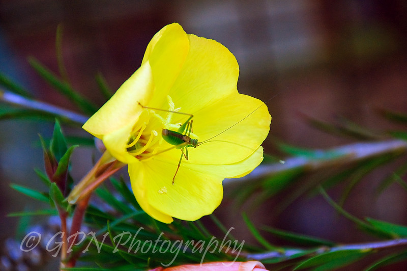 Grasshopper on Eevening Primrose