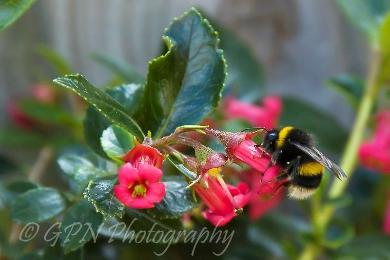 Bee drinking from an Escallonia flower