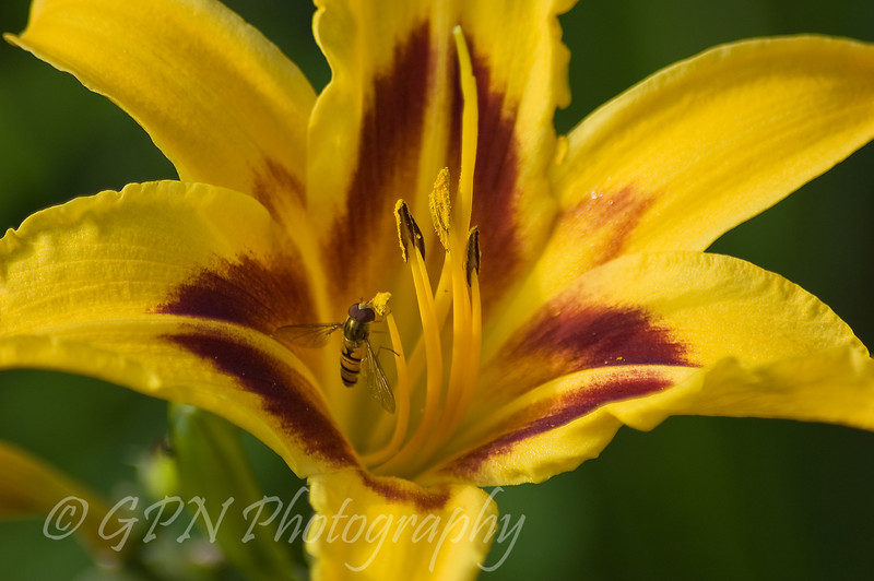 Hover Fly on Day lily