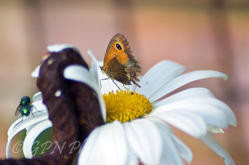 Butterfly & Green Bottle Fly on a Daisy