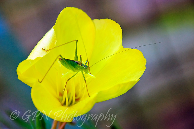 Grasshopper on Evening Primrose
