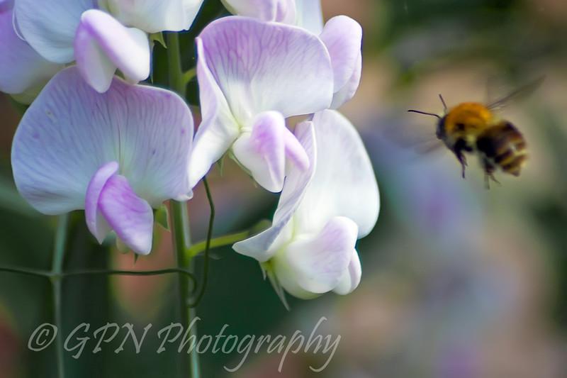 Bee flying towards Sweet Pea