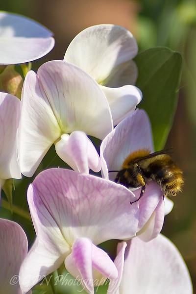 Bee in Sweet Pea