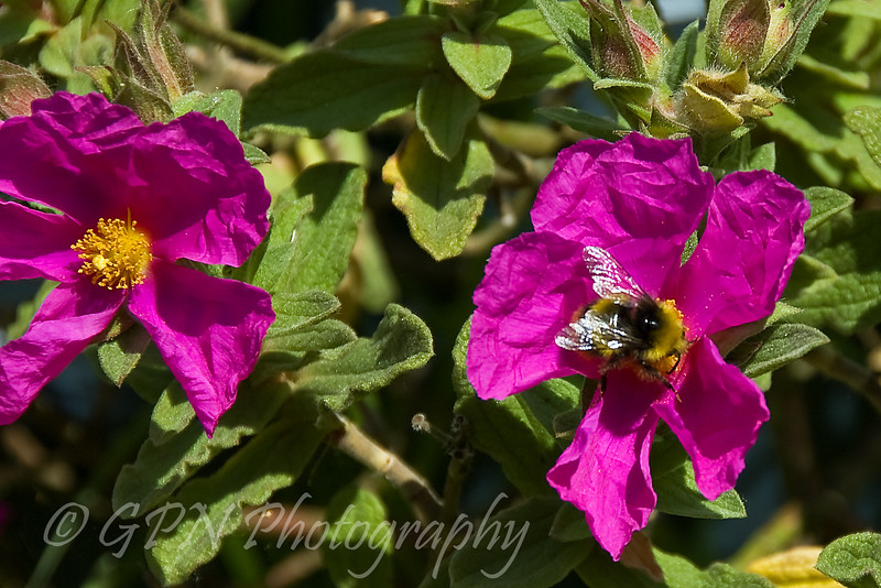 Bee on a Rock Rose