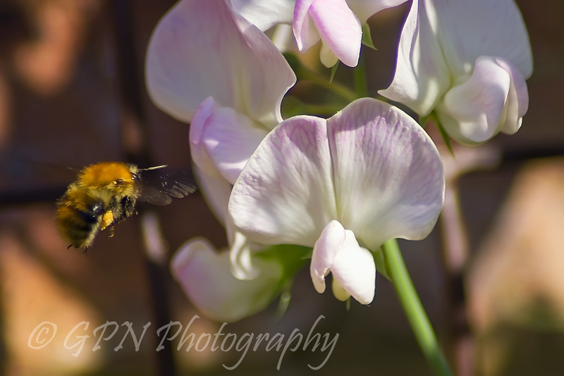 Bee flying towards Sweet Pea