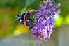 Butterfly on Buddleja