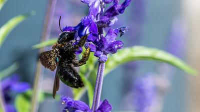 Violet Carpenter Bee