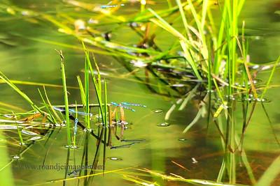 Common Bluetail Damselflies