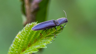 Lined Click Beetle