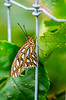 Gulf Fritillary - Agraulis vanillae - July 2013<br /> <br /> half an hour out of the chrysalis